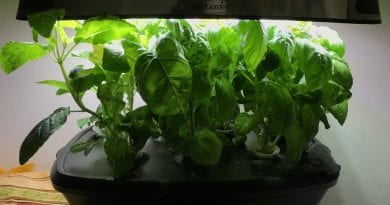Aerogarden Thai Holy Basil and Italian Basil Update Day 35 and 45